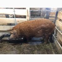 Ремонтные свинки породы Венгерская Мангалица 8- 9 месяцев ЦЕНА ДОГОВОРНАЯ