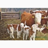 Бычки Телята Коровы Оптом КАЧЕСТВО 100%
