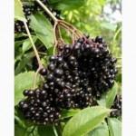 Закупаем ягоды бузины чёрной в гроне