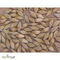 Семена ячменя озимого - сорт Росава. 1 репродукция