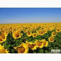 Семена подсолнечника Limagrain 5635 (Лимагрейн 5635)