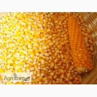 Срочно закупаю кукурузу Дорого
