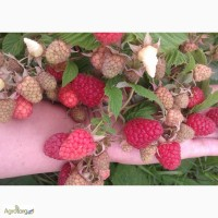 Саженцы крупноплодной малины Каскад Делайт (Cascade Delight)
