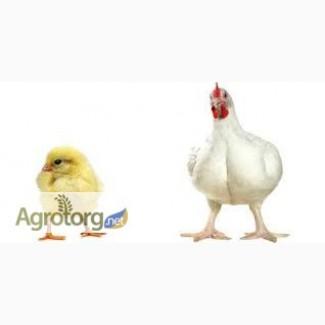 Продам суточных цыплят бройлер КОББ -500