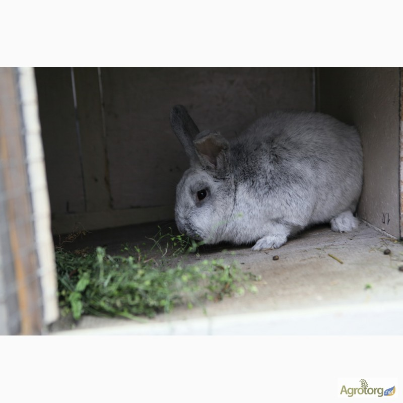 Фото 5. Продаю кроликов на племя Большое Светлое Серебро (БСС), Новозелландская Белая (НЗБ)