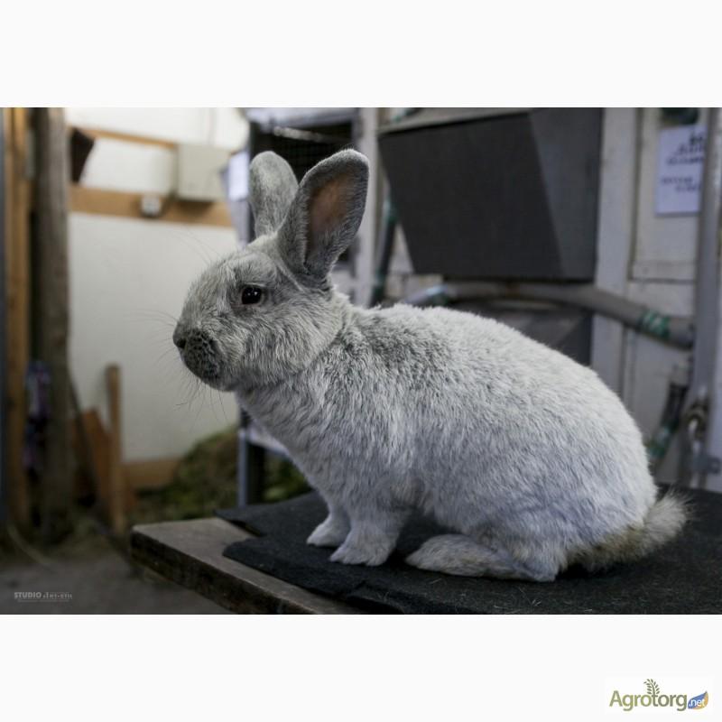Фото 3. Продаю кроликов на племя Большое Светлое Серебро (БСС), Новозелландская Белая (НЗБ)