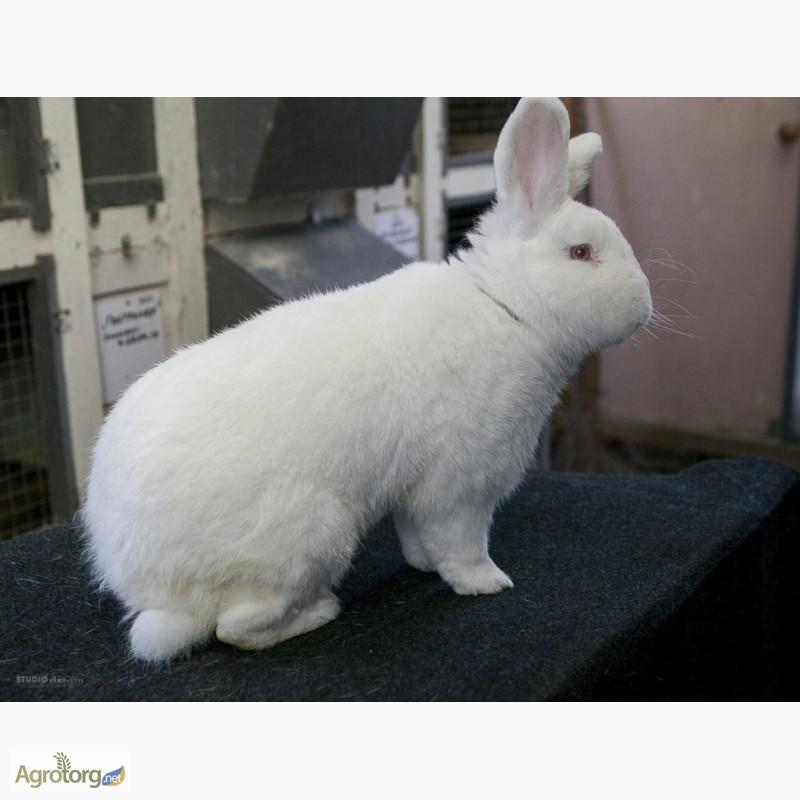 Фото 6. Продаю кроликов на племя Большое Светлое Серебро (БСС), Новозелландская Белая (НЗБ)