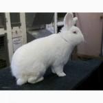 Продаю кроликов на племя Большое Светлое Серебро (БСС), Новозелландская Белая (НЗБ)