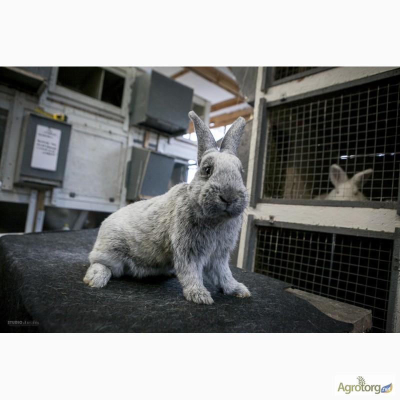 Фото 2. Продаю кроликов на племя Большое Светлое Серебро (БСС), Новозелландская Белая (НЗБ)