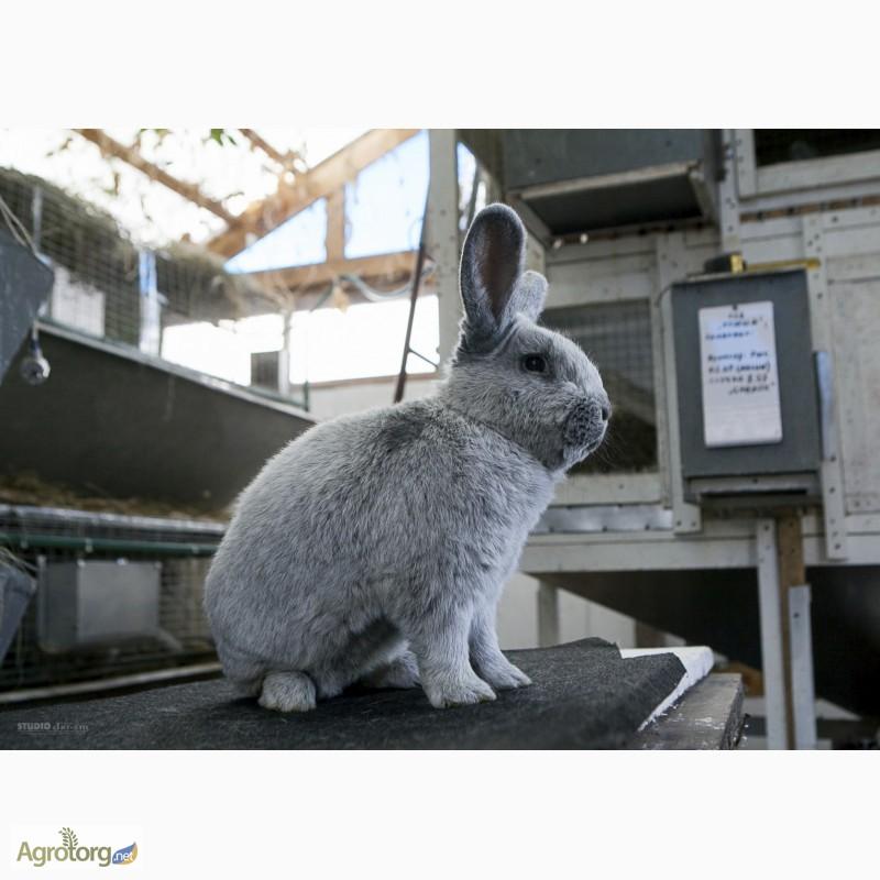 Фото 4. Продаю кроликов на племя Большое Светлое Серебро (БСС), Новозелландская Белая (НЗБ)