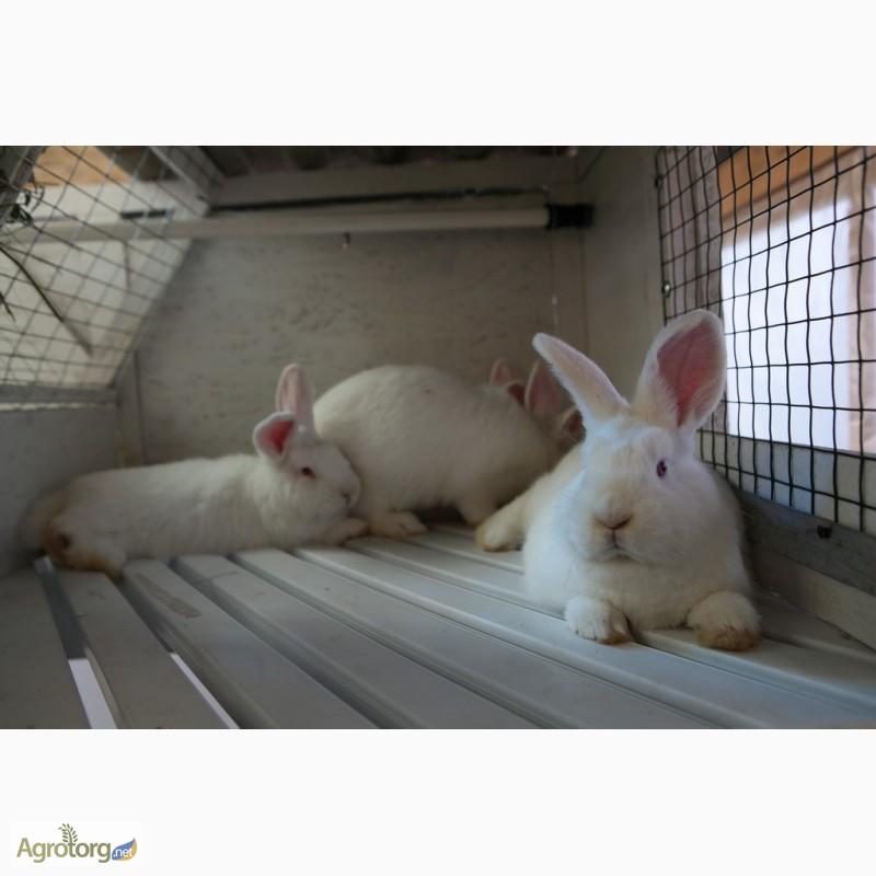 Фото 8. Продаю кроликов на племя Большое Светлое Серебро (БСС), Новозелландская Белая (НЗБ)