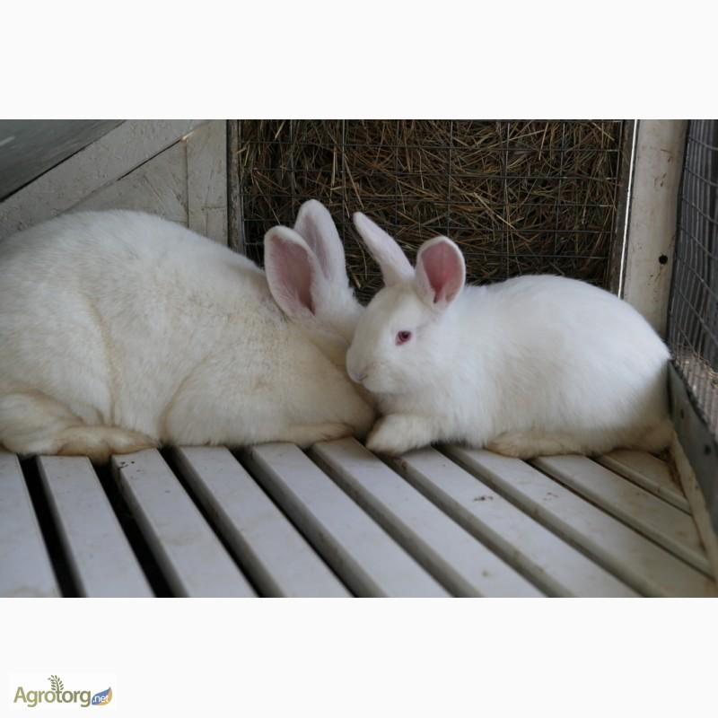 Фото 7. Продаю кроликов на племя Большое Светлое Серебро (БСС), Новозелландская Белая (НЗБ)