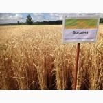 Семена озимой пшеницы Богдана(супер элита)