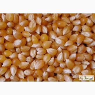 Семена кукурузы гибрида МЕЛ 272 МВ (F1) от производителя. (ФАО 250)