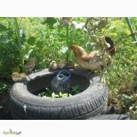 Цыплята бентамка