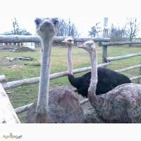 Продам сім#039;ю страусів 6 річного віку