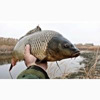 Живая товарная рыба: карп (зеркальный), белый амур, толстолоб