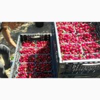 Мелітопольська черешня на експорт