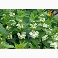 Куплю оптом лікарські рослини:цвіт яснотки, хвощ польовий, листя кропиви, лист подорожника