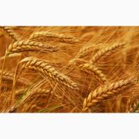 Пшеница от производителя, 3, 4 класса.Урожай 2019 года