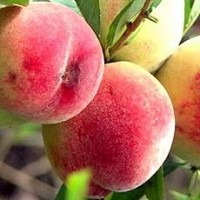 Продам саджанці персика Київський Краснощокий