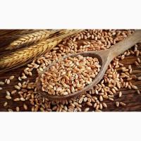 Спельта для виготовлення борошна та крупи (зерно в мішках по 25 кг.)