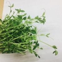 Пподам зелень микрогрина микрозелени