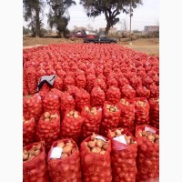 Продам лук от производителя из Египта