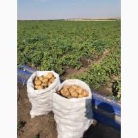 Продам молодой картофель сорт Ривьера