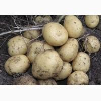 Продаем семенной картофель Ривьера I и II репродукции. Отправка по всей Украине