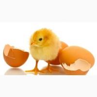 КОББ 500 яйца инкубационные