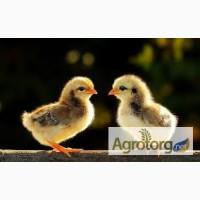 Продам суточных цыплят мясо-яичных Мастер Грей, Фокси чик, Голошейка, Редбро