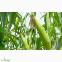 Семена кукурузы Лоренс (Seed Grain)