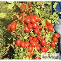 Продам помидор оптом с поля. Сорта Дино, Анлёнка. Херсонская область