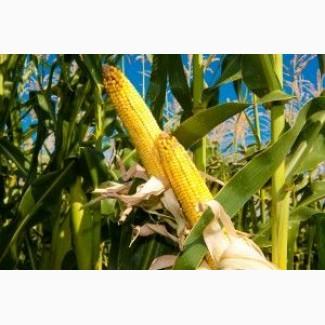 Семена кукурузы Гран 310