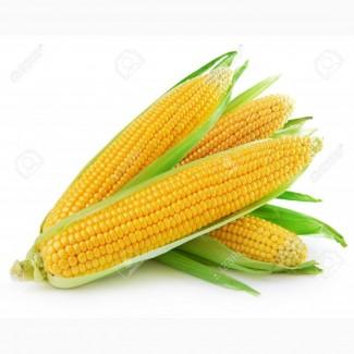 Семена кукурузы Любава, Солонянский, Днепровский, Оржица, Амарок, Яровець