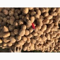 Продам гуртом картоплю сорта « мелоді»