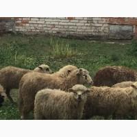 Продам ягнят овец бараны