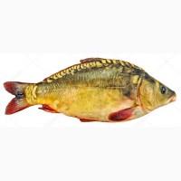 Зарибок коропа (250-450г) - 45 грн/кг