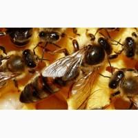Продам бджолині матки 2018 року