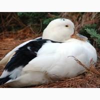 Оригінальні яйця для інкубації качок Мулард