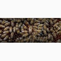 Продам пчеломаток карника ф 1