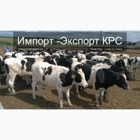 Продажа коров дойных, нетелей молочных пород 1 500 голов КРС