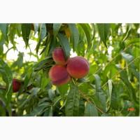 Продам саджанці персика Молдова
