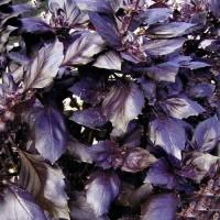 Продам семена Базилик Карамельный Кьянти