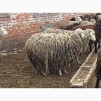 Ярки, овцематки, бараны курдючные
