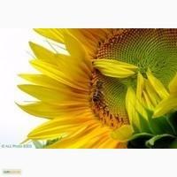 Подсолнечник семена ЛГ 5580