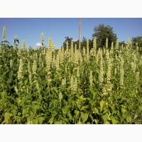 Продам лофант тибетский (семена, соцветия с листьями)
