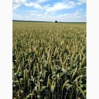 Насіння озимої пшениці Понтікус Ірепродукція