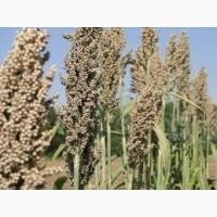 Сорго зерновое Ютами
